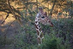 2017.05.20-DSC03442 (martin_kalfatovic) Tags: 2017 kenya laikipiacounty mpalaresearchcentre reticulatedgiraffe giraffacamelopardalisreticulata mpalaresearchcentrelaikipiacountykenya