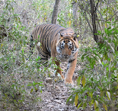 Eye Contact (Koshyk) Tags: tiger ranthambhore patheratigris rajasthan wildlife nikon rtr
