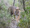 Eye Contact (Koshyk) Tags: tiger ranthambhore patheratigris rajasthan wildlife nikon rtr
