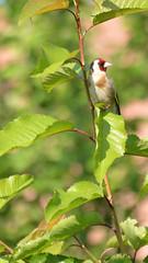 chardonneret élégant (2) (philjacq77) Tags: philjacq nikon d5200 bird chardonneret
