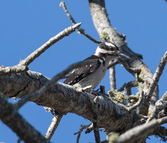 Woodpecker, Hairy (Picoides villosus) (kikapookid) Tags: 2017 animalia bird california hairy heritageranch location montereycord pasorobles sanluisobispoco trails usa woodpecker