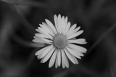 Black and white (Michela Franzoni1) Tags: blackandwhite bokeh flower nature daisy garden fiore white canon canon300d