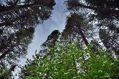 Tall Evergreens and a View to the Skies Above (Yosemite National Park)