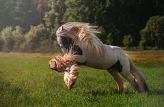 Sir Jack (Jagoda 1410) Tags: horse ecogypsytraditionalcob gypsycob animal horseinmotion gallop