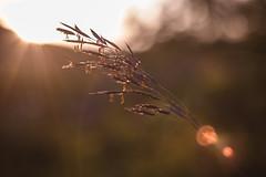 Warm light (drop_m) Tags: old oldlens vintage vintagelens manual manuallens primelens prime canon canon70d 70d carl zeiss jena carlzeissjena carlzeiss biotar biotar58f20 biotar58mm biotar58mmf20 carlzeissjenabiotar carlzeissjenabiotar58mmf20 deepoffield dof deep field grass ear spring spike spikes flower flowers openair wild wildness down sunset dusk flare light lights highlights f40 bokeh beam beams beauty calm warm warmcolors sun sunny italy 2017