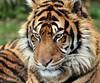 sumatran tiger emas blijdorp JN6A8114 (joankok) Tags: tijger tiger emas blijdorp sumatraansetijger sumatrantiger pantheratigrissumatrae kat cat asia azie sumatra mammal zoogdier dier animal
