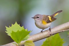 BJ8A3132-American Redstart (tfells) Tags: americanredstart female warbler bird nature newjersey mercer baldpatemountain passerine songbird