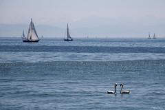 Lac de Constance (martine_ferron) Tags: cygne lacdeconstance bateaux bodensee souabe