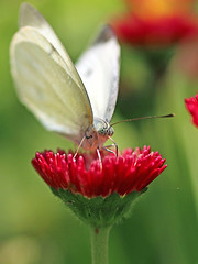 Cabbage Butterfly (Johnnie Shene Photography(Thanks, 2Million+ Views)) Tags: pierisrapae pieris butterfly cabbagebutterfly commonbutterfly whitebutterfly lepidoptera vertical feeding animal frontview photography outdoor colourimage fragility freshness nopeople foregroundfocus adjustment depthoffield bokeh feeler fulllength macro closeup magnified perching flower daisy red nature natural wild wildlife livingorganism tranquility wings limbs korea asia head portrait animalandplant resting peace calm amazing interesting awe wonder behaviour staying distorted canon eos80d 80d tamron 90mm f28 11 lens 배추흰나비 흰나비 나비 곤충 접사 매크로