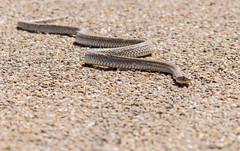 Western Coachwhip (ap0013) Tags: new mexico newmexico snake western coachwhip westerncoachwhip reptile nature animal glenrio nm desert