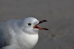 Immature silver-gull asking for food. (natalia.bird_nerd) Tags: bird gull silvergull immaturebird sand beach rye ryebeach australia