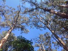 Looking up (sander_sloots) Tags: gumtree dandenong ranges national park trees belgrave melbourne gumtrees gombomen