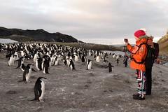 200,000 Chinstrap Penguins, Bailey Head, Antarctica (Scott Ableman) Tags: shetlandislands baileyhead chinstrappenguins chinstrappenguin chinstrap penguin nationalgeographicexpeditions lindbladexpeditions nationalgeographicorion antarctica parkas orange orangeparka