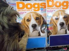 Flo Yorkie Poo Dog Dogs Monthly (@oakhamuk) Tags: flo yorkiepoo dog dogsmonthly