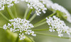 """Poison Hemlock....""""Poisonous"""" """"Macro Mondays"""" (Bernie Kasper (2.5 m views)) Tags: art berniekasper cliftyfallsstatepark cliftyfalls d600 family flower floral flowers green hiking history indiana indianawildflowers jeffersoncounty light leaf leaves madisonindiana macro madisonindianacliftyfallsstatepark hemlock poisonhemlock nature nikon naturephotography new outdoors outdoor old photography plant poisin raw spring summer sigma statepark wildflower wildflowers white macromondays poisonous"""