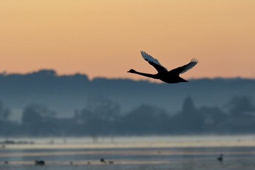From flickr.com: Swan At Dawn {MID-150662}