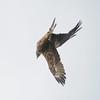 _6060392 (Brian Wadie Photographer) Tags: gusty 40mph winds inverting black kite baldeagle blackkites hooded kestrel milkyowl sacredibisyellowbilledkite secretarybird vultures vutlures
