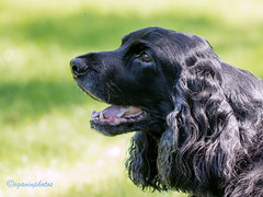 23/52 - Sammy 2017 (conniegavin12) Tags: 52weeksfordogs fieldspaniel spaniel dog pet