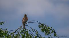 Turmfalke (Falco tinnunculus) (Oerliuschi) Tags: vogel birds greifvogel falke turmfalke falcotinnunculus kaiserstuhl nahaufnahme leicadg100400 panasonicgh5 weinberge