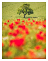 In the Line of Red (Vemsteroo) Tags: poppies poppy tree summer trees colourful rural countryside birmingham brum canon mkiv 100400mm telephoto sutton coldfield crops field agriculture wild flowers wildflowers red westmidlands landscape portrait