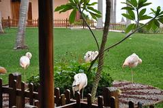 HFF Flamingoes and Fences (Omunene) Tags: fence fencefriday pueblobonito zonadorada mazatlán méxico flamingoes oceanopacifico