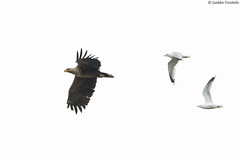 Gulls won't leave white-tailed eagles alone. (uusija) Tags: gull haliaeetusalbicilla laruscanus bird kalalokki linnut lokki luonto merikotka nature petolintu whitetailedeagle