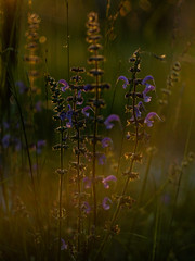 ☀ (cнαт-ɴoιr^^) Tags: bea1270304 flora wildflower triglavgebirge panasonicg1 50mm 20 eveninglight