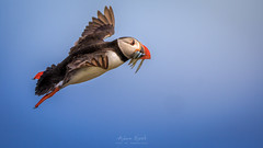In Flight Buffet Service (Adam West Photography) Tags: adamwest adorable atlantic auk beak bill bird colorful colourful cute england eye farne fauna feathers fish flight inflight island islands king nature northumberland puffin sandeels seabird staple uk wildlife wings
