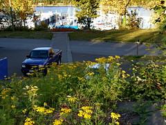 Tanacetum vulgare [Asteraceae] Common Tansy (robinb44) Tags: tanacetumvulgare asteraceae commontansy ladysmithharbour