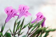 Her gecenin bir sabahı vardır. (halukderinöz) Tags: ipomoea leptophylla çiçek flower rumi türkiye turkey hatay arsuz gündüzsefası canon eos7d hd