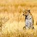 African Leopard Watching