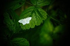 ali bianche del sottobosco (icodrom) Tags: farfalla ali bianche foglie sottobosco