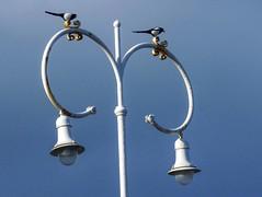 P1070465 (petercan2008) Tags: urracas farolas pájaros aves