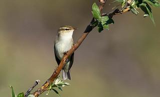 Arctic Warbler (Phylloscopus borealis) - Nome, AK