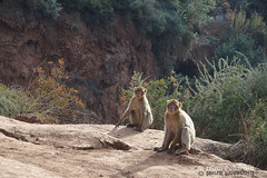 More  Barbary Apes (farahleon) Tags: barbaryape ouzoud ouzoudfalls barbarymacaque morocco