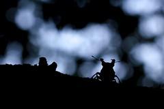 Stag beetle (Simon Jan) Tags: insect silhouette beetle stagbeetle lucanuscervus macro nightphotography backlight