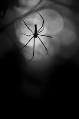 Lurker! (Ramesh Adkoli) Tags: closeup pachibale bw blackwhite d800e capturenx