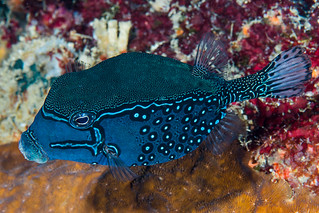 Solor Boxfish, male - Ostracion solorensis