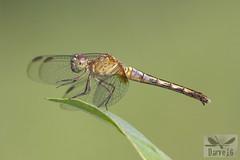 Erythrodiplax basalis (Kirbyi, 1897) ( BlezSP) Tags: erythrodiplaxbasalis peru bocapariamanu rainforest libellulidae faunaforever fauna forever