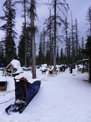 Just about ready (lmundy2002) Tags: dogs dogsled dogsledding huskies sleds whitefish olney whitefishmt olneymt montana mt winter wintersports