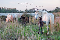Scène de Camargue 9 (Xtian du Gard) Tags: camargue cheval chevaux goldenhour poulain foal landscape waterscape flamantrose flamingo xtiandugard