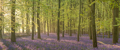 Bluebell Wood Panorama (Old-Man-George) Tags: georgewheelhouse wwwgeorgewheelhousecom a171954pano bluebells uk nature landscape panorama wide aspect beech woodland woods forest sunrise sunlight morning