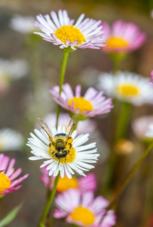 Solitary bee on Mexican Fleabane