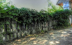 Renaissance Village Fence (clarkcg photography) Tags: fence picket privacy natural wood wisteria plant growth green thick castleofmuskogee renaissance fencedfriday fridayflora 7dwf