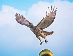 Christo (Goggla) Tags: nyc new york east village tompkins square park urban wildlife bird raptor red tail hawk adult male christo flagpole