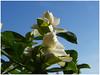 Gardenia's Flowers.