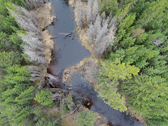 Northern Old Growth (Fish as art) Tags: fish fisheries spawning longnosesucker greatslavelake paulvecseiphotography underwaterphotographypaulvecsei aerialphotography