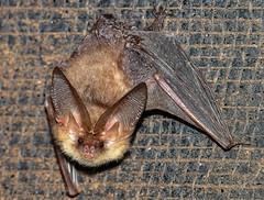 Brown Long Eared Bat (ukmjk) Tags: brown long eared bat nikon nikkor d500 300mm pf f4 sb900