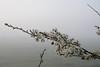 Schlehdorn (Prunus spinosa), morgens beim Weiden-Check; Bergenhusen, Stapelholm (17)