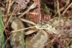 Vipera Berus (ChristianMoss) Tags: reptile snake adder nature photography wildlife photo vipera berus tangle